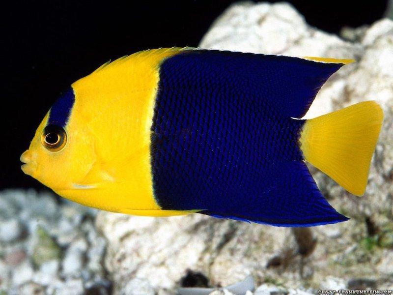 bicolor-angelfish.jpg