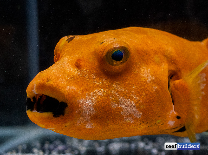 orange-puffer-starry-arothron-3.jpg