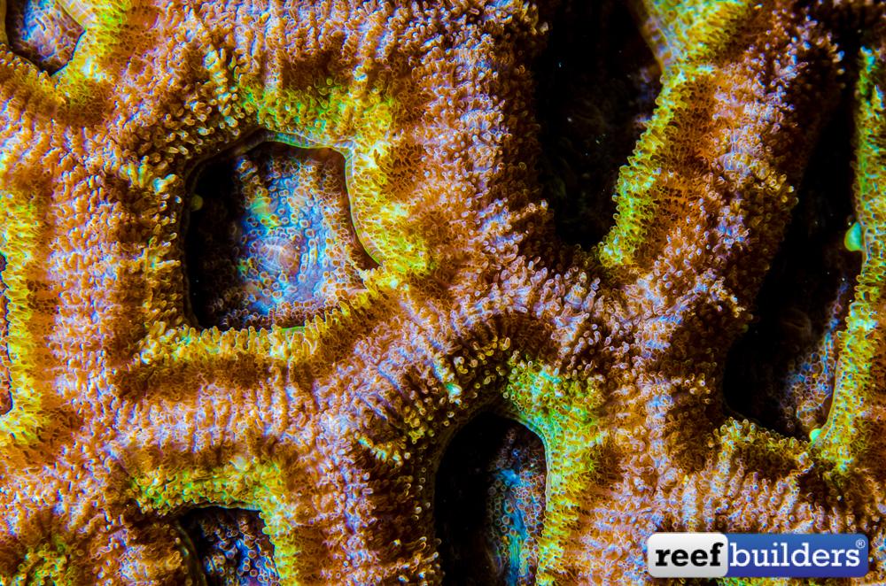Micromussa-lordhowensis-92.jpg