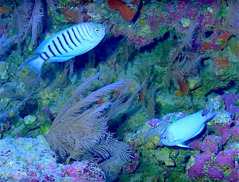 genicanthus-spinus-pair.jpg