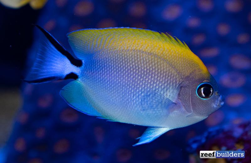 biota-swallowtail-angelfish-4.jpg