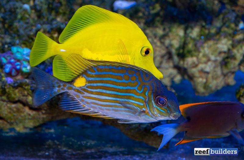 rabbitfish-biota-siganus-lineatus-3.jpg