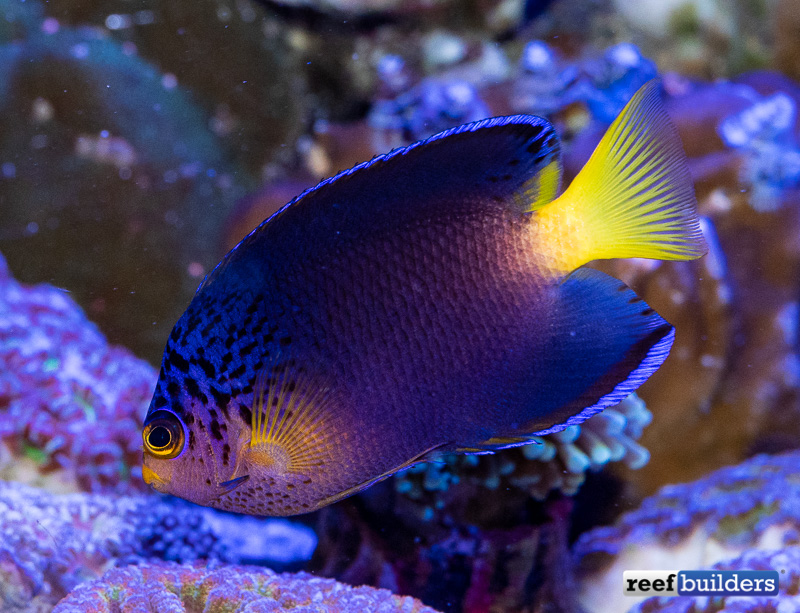 centropyge-debelius-angelfish-8.jpg