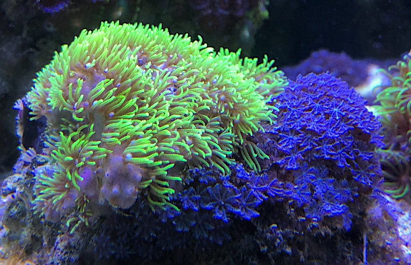 sarcothelia-blue-green-star-polyp.jpg
