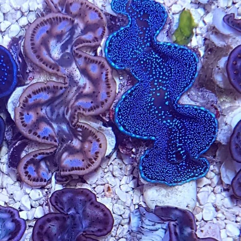 red-sea-maxima-clam-2.jpg