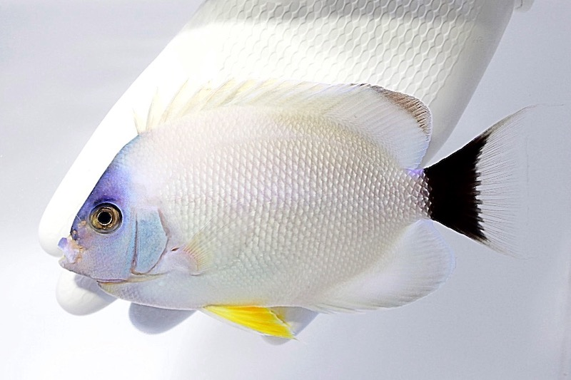 masked-angelfish-white.jpg