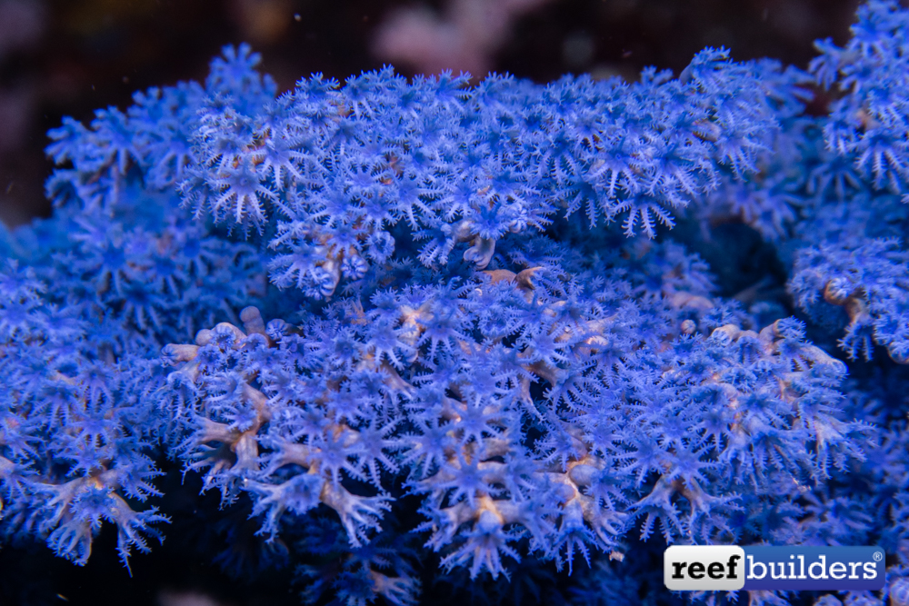 RB-Octocoral-11.jpg