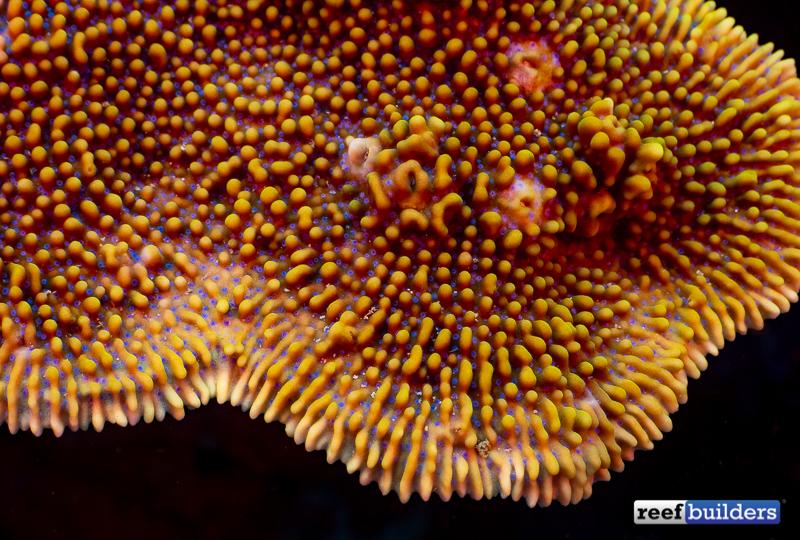 montipora-palawanensis-3.jpg