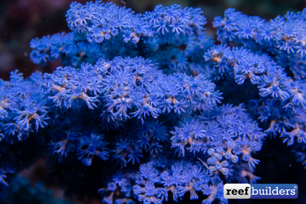 RB-Octocoral-12-1.jpg