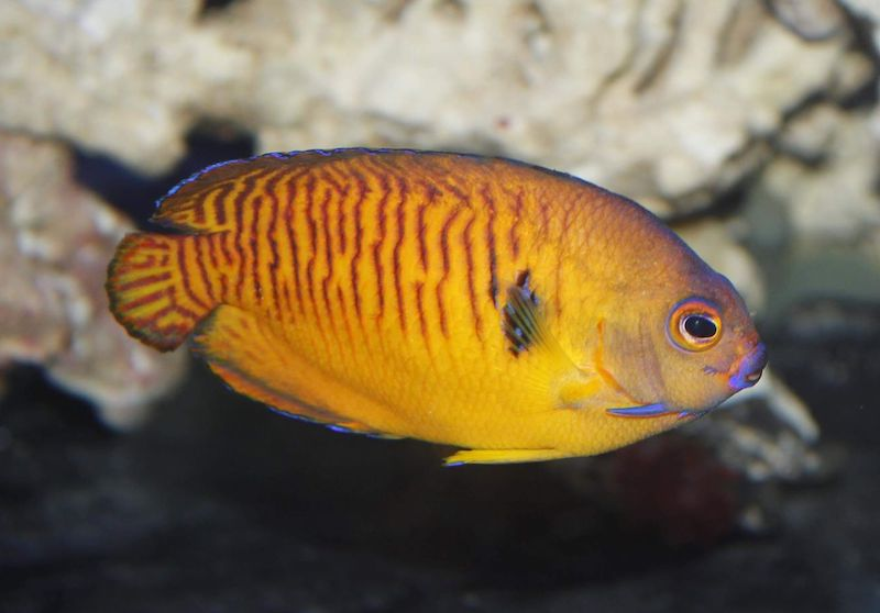 tiger-tail-coral-beauty-angelfish-orange-1.jpg