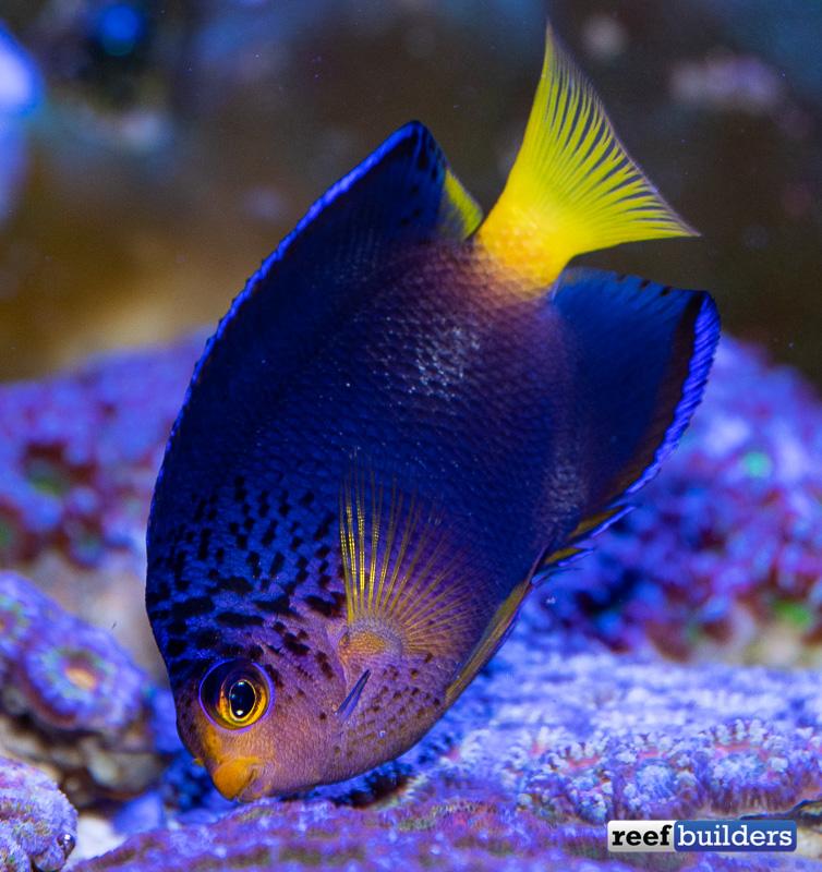centropyge-debelius-angelfish-6.jpg