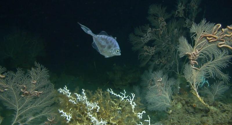 Deep-Sea-Corals-1.png