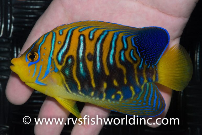 regal-angelfish-black-770x514.jpg