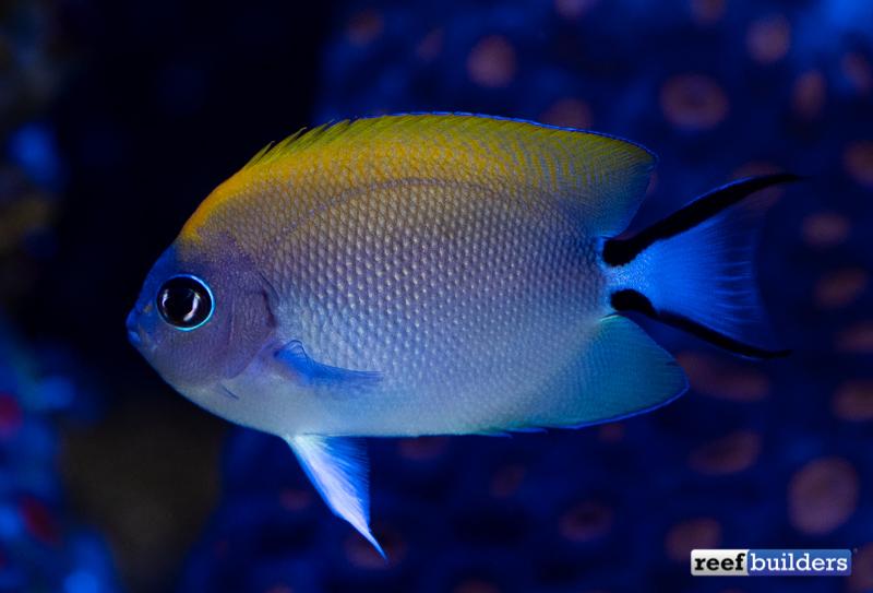 biota-swallowtail-angelfish-5.jpg