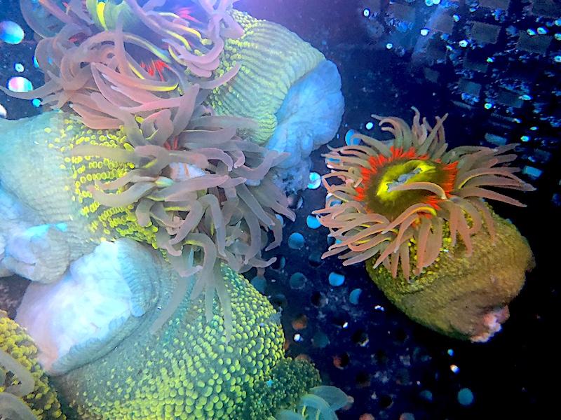 rainbow-bottom-anemone-aci.jpg
