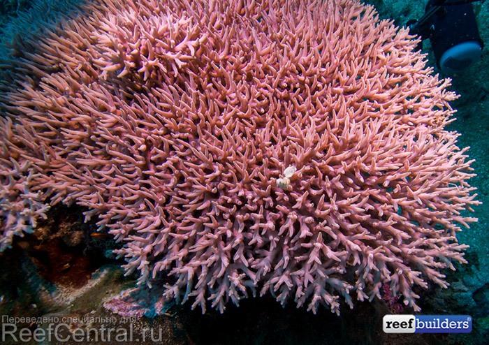 acropora-jacquelineae-pink-3.jpg