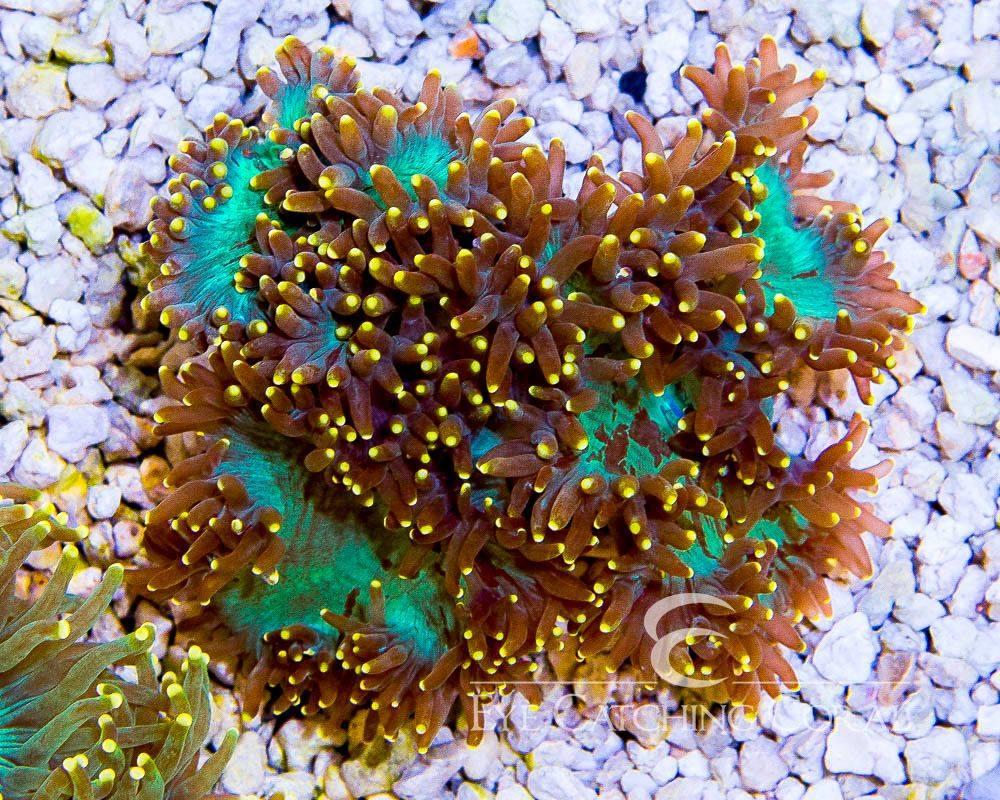 gold-tip-elegance-coral-2.jpg