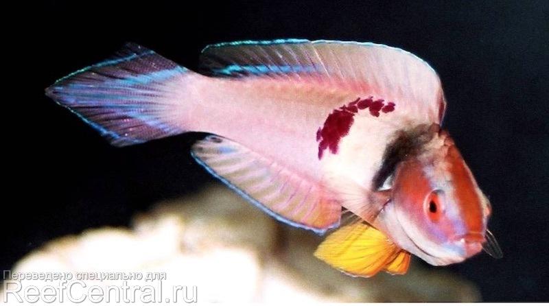Cirrhilabrus-sanguineus-h-tanaka.jpg