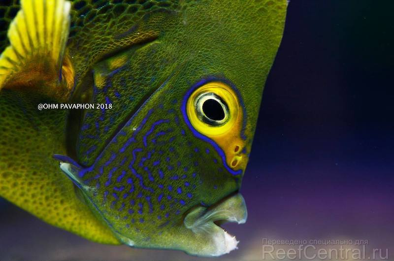 blueface-koran-angelfish-hybrid-2.jpg