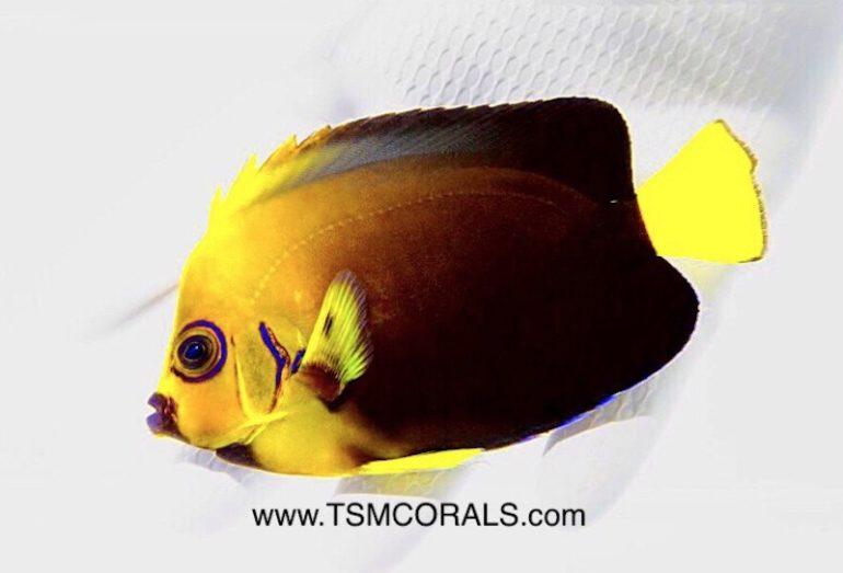 conspic-angelfish-hybrid-4-770x523.jpg