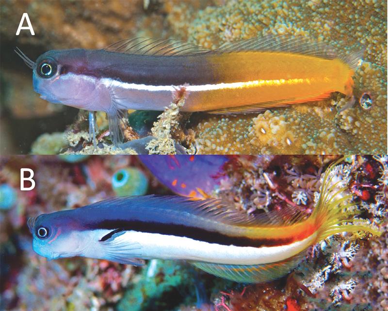 ecsenius-springeri-bicolor.jpg