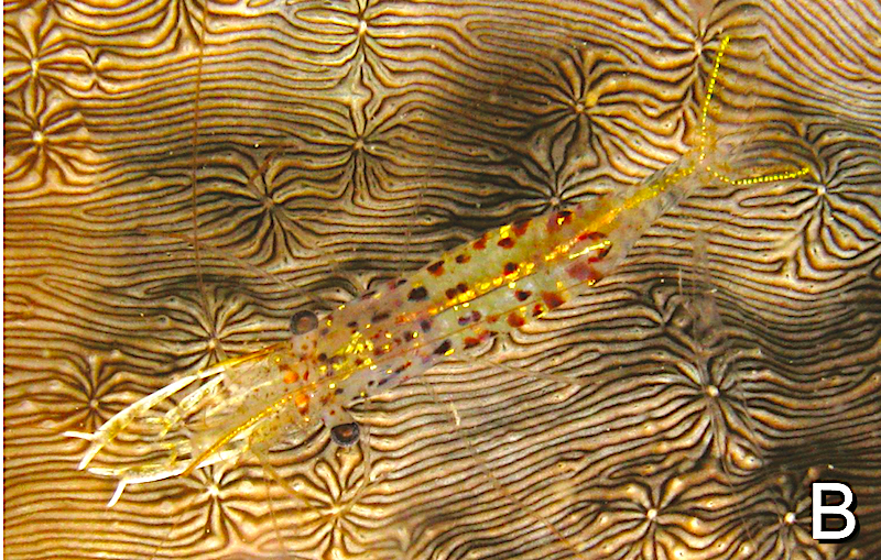 urocaridella-degravei-2.jpg