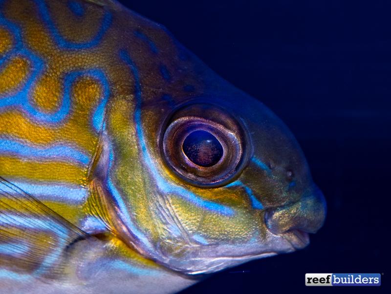 rabbitfish-biota-siganus-lineatus-4.jpg