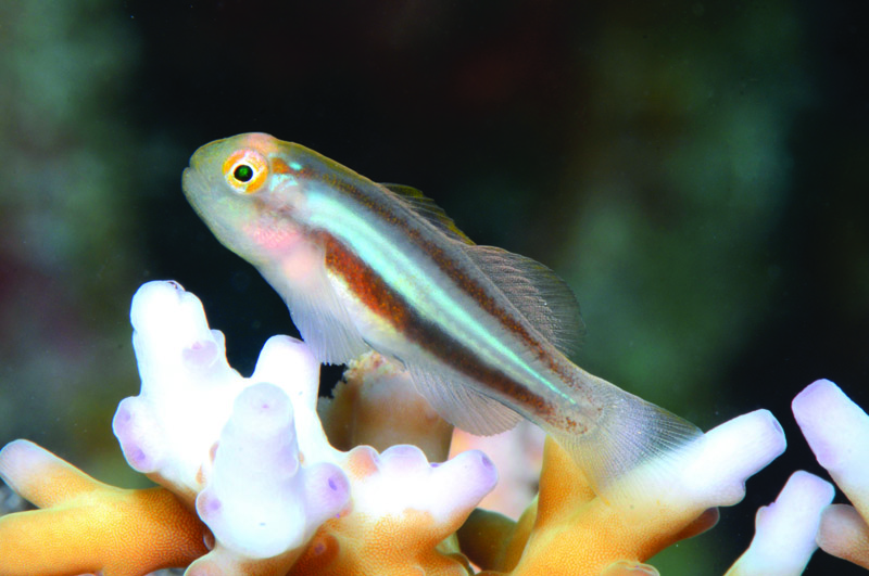 Gobiodon-howsoni-new-goby-species.jpeg