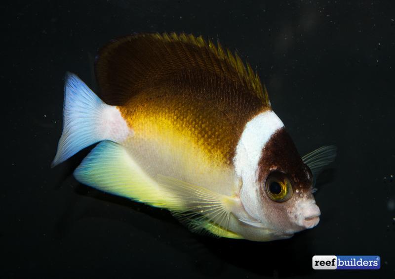 centropyge-abei-angelfish-3.jpg