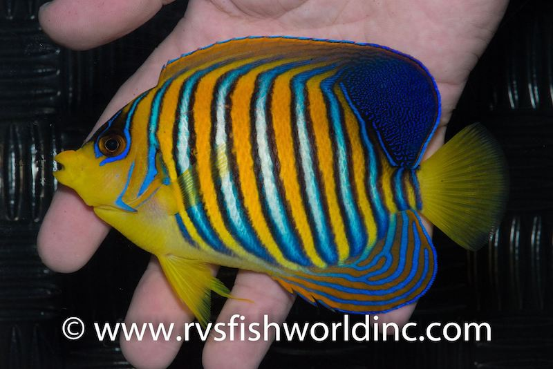regal-angelfish-philippines.jpg