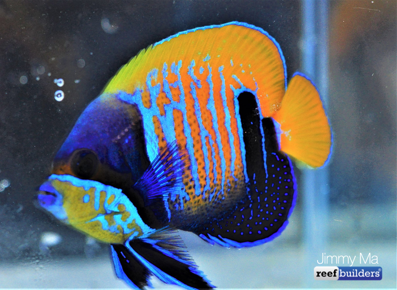 majestic-angelfish-blue-skeleton-9.jpg