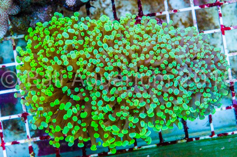 euphyllia-hybrid-new-species.jpg