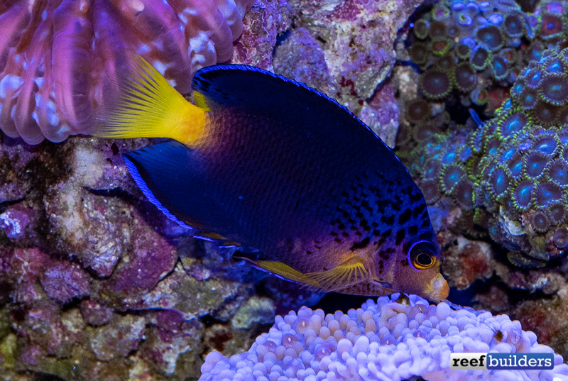 centropyge-debelius-angelfish-10.jpg