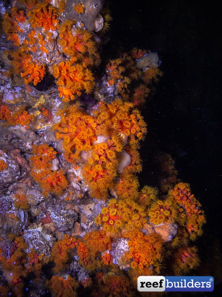Tubastrea-Sun-Coral-Malapascua-19.jpg
