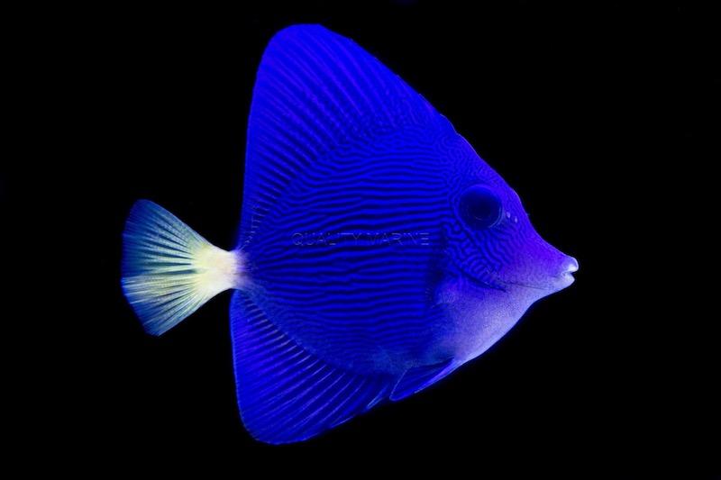 aquacultured-purple-tang.jpg