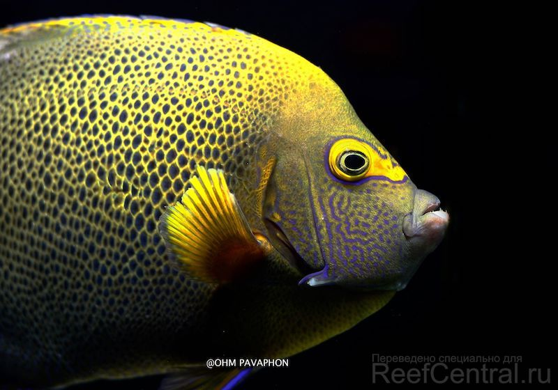 blueface-koran-angelfish-hybrid-1-copy.j
