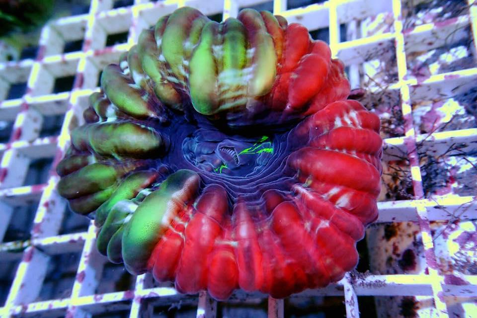 Cynarina-green-red.jpg