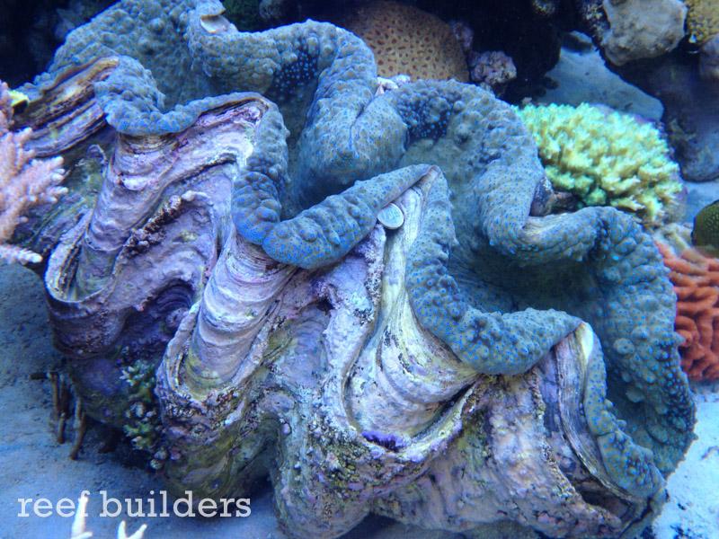 tridacna-gigas-giant-clam-6.jpg
