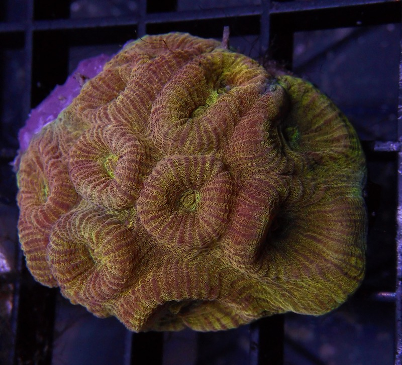 fluted-moon-coral.jpg