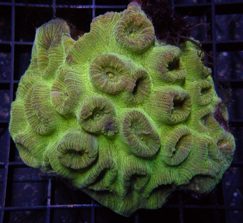 fluted-moon-coral-7.jpg