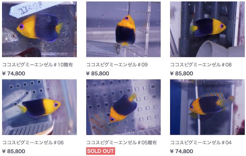 joculator-angelfish-blue-harbor.jpg