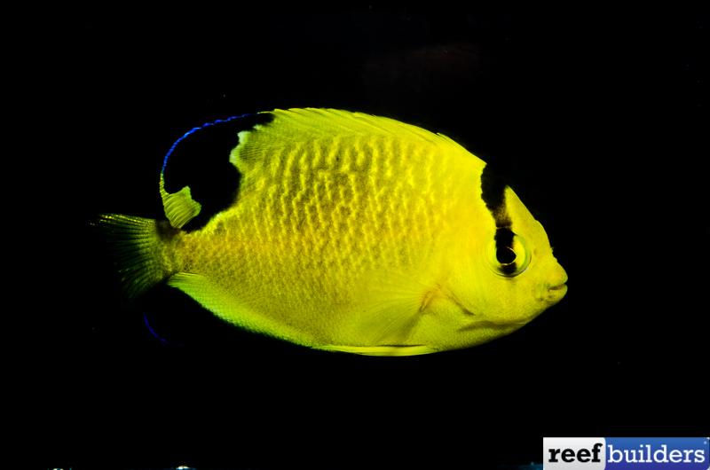 Apolemichthys-xanthopunctatus-7.jpg