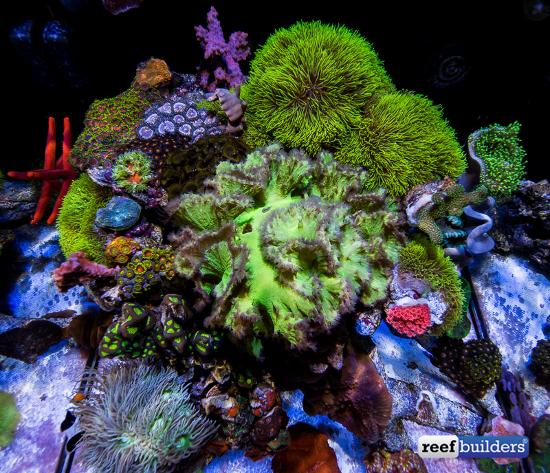 sinularia-dura-green-cabbage-leather-coral-4.jpg