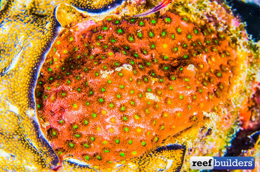 Bernardpora-stutchburyi-deep-water-appea