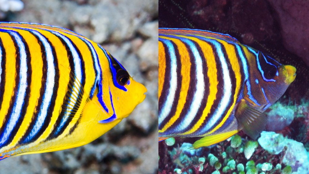 regal-angelfish-subspecies.jpg