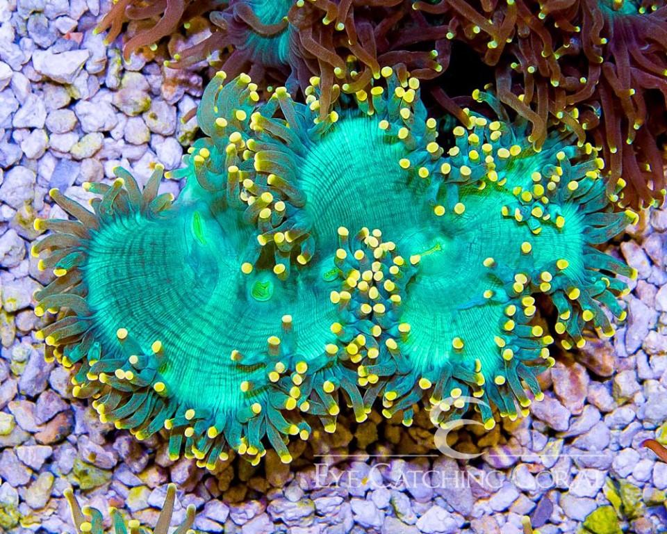 yellow-tip-elegance-coral.jpg