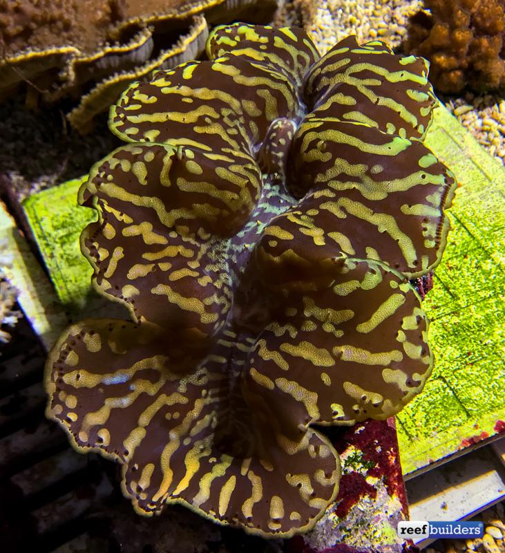 gold-tiger-maxima-clam-taiwan-1.jpg