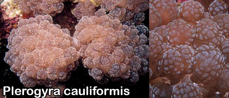 plerogyra-cauliformis.jpg