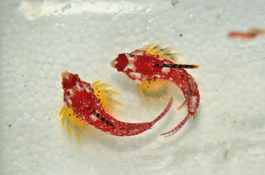 Synchiropus sycorax