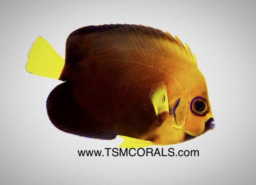 conspic-angelfish-hybrid-3.jpg